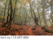 Купить «Буки в туманном осеннем лесу. Демерджи. Крым», фото № 13097866, снято 22 октября 2015 г. (c) Оксана Гильман / Фотобанк Лори