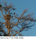 Купить «Low angle view of an eagle perching on tree branch», фото № 13106334, снято 27 сентября 2014 г. (c) Ingram Publishing / Фотобанк Лори