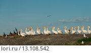 Купить «Flock of Yellow-Billed Stork (Mycteria ibis) and Cormorant (Phalacrocorax carbo) on coast, Lake of the Woods, Ontario, Canada», фото № 13108542, снято 22 июня 2014 г. (c) Ingram Publishing / Фотобанк Лори