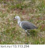 Купить «Magellan goose (Chloephaga picta)», фото № 13113294, снято 27 ноября 2013 г. (c) Ingram Publishing / Фотобанк Лори