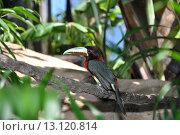 Птица тукан сидит на ветке. Стоковое фото, фотограф Nelly Gogus / Фотобанк Лори