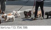 Купить «Person Walking with dogs on street,», фото № 13154186, снято 10 мая 2014 г. (c) Ingram Publishing / Фотобанк Лори