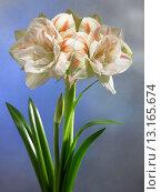 Купить «Hippeastrum double Nymph», фото № 13165674, снято 23 февраля 2006 г. (c) age Fotostock / Фотобанк Лори