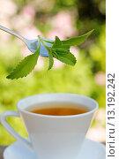 Купить «Sweet plant Stevia rebaudiana», фото № 13192242, снято 2 июля 2010 г. (c) age Fotostock / Фотобанк Лори