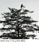Купить «Eagle perching on a tree», фото № 13210482, снято 22 июля 2014 г. (c) Ingram Publishing / Фотобанк Лори