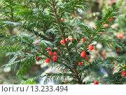 Купить «Красные ягоды на ветках деревьев Тиса», фото № 13233494, снято 3 ноября 2015 г. (c) EugeneSergeev / Фотобанк Лори