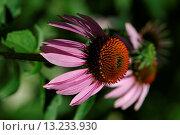 Купить «Echinacea in summer», фото № 13233930, снято 7 июля 2020 г. (c) age Fotostock / Фотобанк Лори