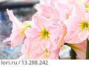 Купить «Amaryllis flowers bouquet», фото № 13288242, снято 28 марта 2014 г. (c) Юрий Брыкайло / Фотобанк Лори