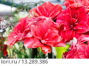 Купить «Red Amaryllis flowers», фото № 13289386, снято 28 марта 2014 г. (c) Юрий Брыкайло / Фотобанк Лори