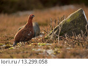 Купить «Red Grouse Lagopus lagopus scoticus adult male, standing on moorland, Peak District, Derbyshire, England, january», фото № 13299058, снято 20 ноября 2017 г. (c) age Fotostock / Фотобанк Лори