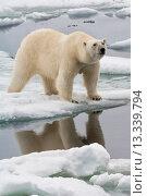 Купить «Female Polar bear Ursus maritimus reflecting in the water, Svalbard Archipelago, Barents Sea, Norway», фото № 13339794, снято 20 марта 2018 г. (c) age Fotostock / Фотобанк Лори