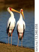 Купить «Yellowbilled Storks Mycteria ibis, loving pare male on the left preening the female at the lakeshore, Sunset Dam, Kruger National Park, South Africa», фото № 13340658, снято 21 марта 2019 г. (c) age Fotostock / Фотобанк Лори