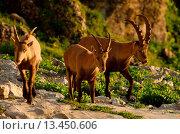 Купить «Swiss, Churfirsten, mammal, alps, animal, Artiodactyl, ruminat, Capricorn, beak, goatish, alps», фото № 13450606, снято 19 января 2020 г. (c) age Fotostock / Фотобанк Лори