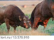 Купить «Domestic Cattle, Limousin bulls, with neck indentification tags, fighting on coastal grazing marsh, Elmley Marshes National Nature Reserve, Isle of Sheppey, Kent, England, July», фото № 13570910, снято 27 февраля 2020 г. (c) age Fotostock / Фотобанк Лори