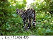 Купить «TIGER CAT OR ONCILLA leopardus tigrinus», фото № 13609430, снято 30 июня 2008 г. (c) age Fotostock / Фотобанк Лори