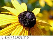Купить «Rudbeckia fulgida Orange Coneflower is a perennial plant native to eastern North America.», фото № 13638110, снято 9 июля 2020 г. (c) age Fotostock / Фотобанк Лори