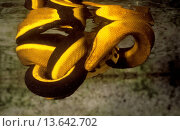 Купить «Yellow_bellied sea snake captive, from Great Barrier Reef, Queensland, Australia», фото № 13642702, снято 23 января 2020 г. (c) age Fotostock / Фотобанк Лори