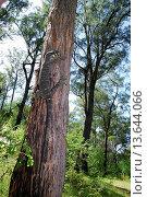 Lace monitor climbing a tree, Deua National Park, New South Wales, Australia. Стоковое фото, фотограф Auscape / UIG / age Fotostock / Фотобанк Лори