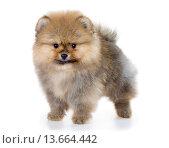 Купить «Pomeranian puppy isolated on a white background», фото № 13664442, снято 23 ноября 2015 г. (c) Сергей Лаврентьев / Фотобанк Лори