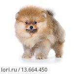 Купить «Pomeranian puppy isolated on a white background», фото № 13664450, снято 23 ноября 2015 г. (c) Сергей Лаврентьев / Фотобанк Лори