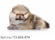 Купить «Pomeranian puppy isolated on a white background», фото № 13664474, снято 23 ноября 2015 г. (c) Сергей Лаврентьев / Фотобанк Лори