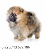 Pomeranian puppy isolated on a white background. Стоковое фото, фотограф Сергей Лаврентьев / Фотобанк Лори