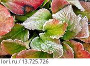 Купить «severe frost on bergenia elephant ears in late autumn early winter at trentham gardens staffordshire england november», фото № 13725726, снято 19 сентября 2019 г. (c) age Fotostock / Фотобанк Лори