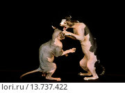 Купить «Sphynx Domestic Cat, Adults fighting against Black Background.», фото № 13737422, снято 20 февраля 2020 г. (c) age Fotostock / Фотобанк Лори