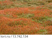 Купить «Ceratodon Moss, Redshank Moss (Ceratodon purpureus), Germany, Schleswig-Holstein», фото № 13742134, снято 22 августа 2018 г. (c) age Fotostock / Фотобанк Лори