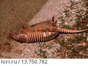 nine-banded armadillo (Dasypus novemcinctus), roadkill. Стоковое фото, фотограф R. Koenig / age Fotostock / Фотобанк Лори