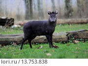 tufted deer (Elaphodus cephalophus), standing on lawn in front of dead wood. Стоковое фото, фотограф W. Layer / age Fotostock / Фотобанк Лори