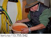 Купить «Marble trout (Salmo trutta), worker in a fish farm cleaning fertilised eggs in a pot», фото № 13755542, снято 27 мая 2020 г. (c) age Fotostock / Фотобанк Лори