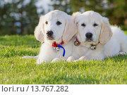Купить «Two Golden Retriever Puppies Laying Together In Park.», фото № 13767282, снято 21 апреля 2019 г. (c) age Fotostock / Фотобанк Лори