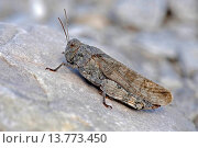 Купить «Speckled grasshopper, European Rose-winged Grasshopper (Bryodema tuberculata, Bryodemella tuberculata), sitting on a rock, Germany, Bavaria», фото № 13773450, снято 21 сентября 2019 г. (c) age Fotostock / Фотобанк Лори