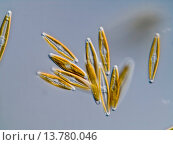 Купить «diatom (Navicula spec.), group, Germany», фото № 13780046, снято 1 августа 2019 г. (c) age Fotostock / Фотобанк Лори