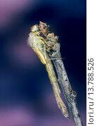 Common blue damselfly, Common bluet damselfly (cyathigera, Enallagma cyathigerum), female just hatched from the exuvia, Germany. Стоковое фото, фотограф F. Hecker / age Fotostock / Фотобанк Лори