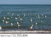 Купить «greater black-backed gull (Larus marinus), troop of juveniles and adults swimming on the North Sea close to the beach, Germany», фото № 13793894, снято 16 февраля 2019 г. (c) age Fotostock / Фотобанк Лори