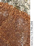Купить «Anaptychia (Anaptychia runcinata, Anaptychia aquila, Anaptychia fusca, Parmelia aquila, Physcia aquila, Physcia fusca, Pseudophyscia aquila), on a coastal rock of the Baltic sea», фото № 13796294, снято 22 февраля 2019 г. (c) age Fotostock / Фотобанк Лори