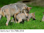Купить «timber wolf (Canis lupus lycaon), with puppy in mouth», фото № 13798314, снято 23 апреля 2019 г. (c) age Fotostock / Фотобанк Лори
