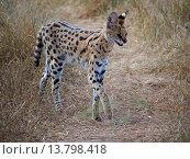 serval (Leptailurus serval, Felis serval), walking through dry savanna, Kenya, Masai Mara National Park. Стоковое фото, фотограф S. Meyers / age Fotostock / Фотобанк Лори