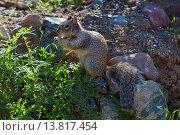 Купить «rock squirrel (Citellus variegatus), feeding, USA, Arizona», фото № 13817454, снято 4 июля 2020 г. (c) age Fotostock / Фотобанк Лори