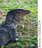 Water monitor lizard (Varanus salvator) up close in Suan Rot Fai Park in Bangkok, Thailand. Стоковое фото, фотограф Dave Stamboulis / age Fotostock / Фотобанк Лори
