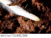 Root hairs and apical meristem. Root of Rhynchospora nervosa. Стоковое фото, фотограф P&R Fotos / age Fotostock / Фотобанк Лори
