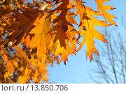 Купить «Оранжевые осенние листья дуба красного (Quércus rubra) на фоне голубого неба», эксклюзивное фото № 13850706, снято 5 ноября 2015 г. (c) Ирина Водяник / Фотобанк Лори