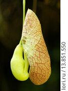 Купить «Calico plant. Aristolochia elegans. Flower.», фото № 13851550, снято 23 марта 2019 г. (c) age Fotostock / Фотобанк Лори