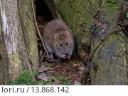 Купить «Brown Rat (Rattus norvegicus) adult, feeding on bark at nest entrance, Norfolk, England, March», фото № 13868142, снято 11 октября 2019 г. (c) age Fotostock / Фотобанк Лори