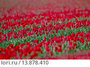 Купить «Tulips in flower Swaffham Norfolk.», фото № 13878410, снято 20 сентября 2018 г. (c) age Fotostock / Фотобанк Лори