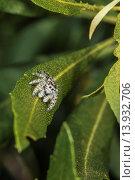 Daring Jumping Spider Phidippus audax on Wax Myrtle Myrica cerifera in Corolla, NC USA. Стоковое фото, фотограф Clarence Styron / age Fotostock / Фотобанк Лори