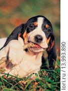 Купить «Ariegeois puppy portraits », фото № 13993890, снято 18 ноября 2017 г. (c) age Fotostock / Фотобанк Лори