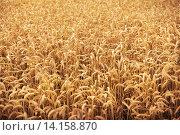 Купить «field of ripening wheat ears or rye spikes», фото № 14158870, снято 26 августа 2015 г. (c) Syda Productions / Фотобанк Лори